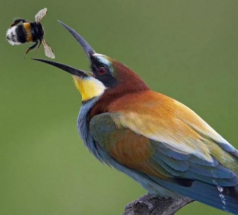 european-bee-eater